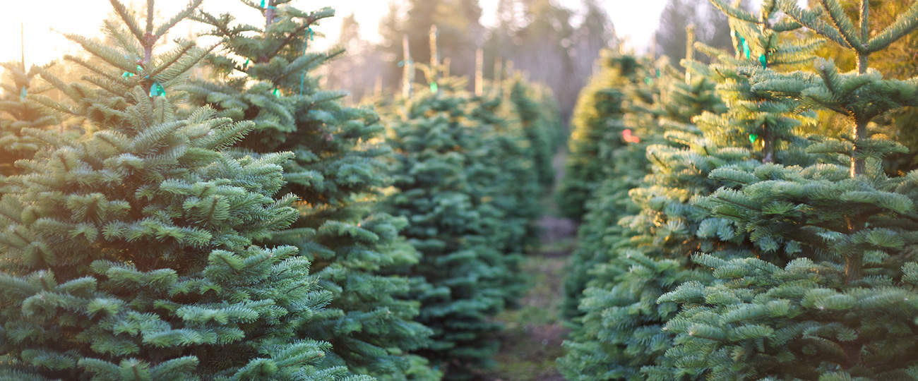 Fresh, Real Christmas Tree Farm Ancaster